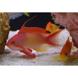 ORANGE ANTHIAS MACHO - PSEUDANTHIAS SQUAMIPINNIS
