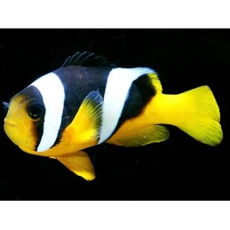 ALLARDI CLOWN - AMPHIPRION ALLARDI PQ