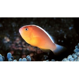 PEACH SKUNK CLOWN TB - AMPHIPRION AKALLOPISOS