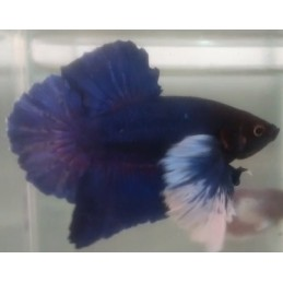 Crowntail Black Orchid - Betta de Linhagem