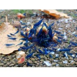 Camarão Blue Pearl
