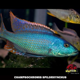 CHAMPSOCHROMIS SPILORHYNCHUS ciclídeo africano