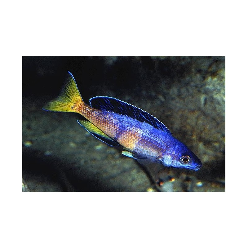 PARACIPRICHROMIS NIGRIPINNIS BLUE NEON 3 A 4 cm