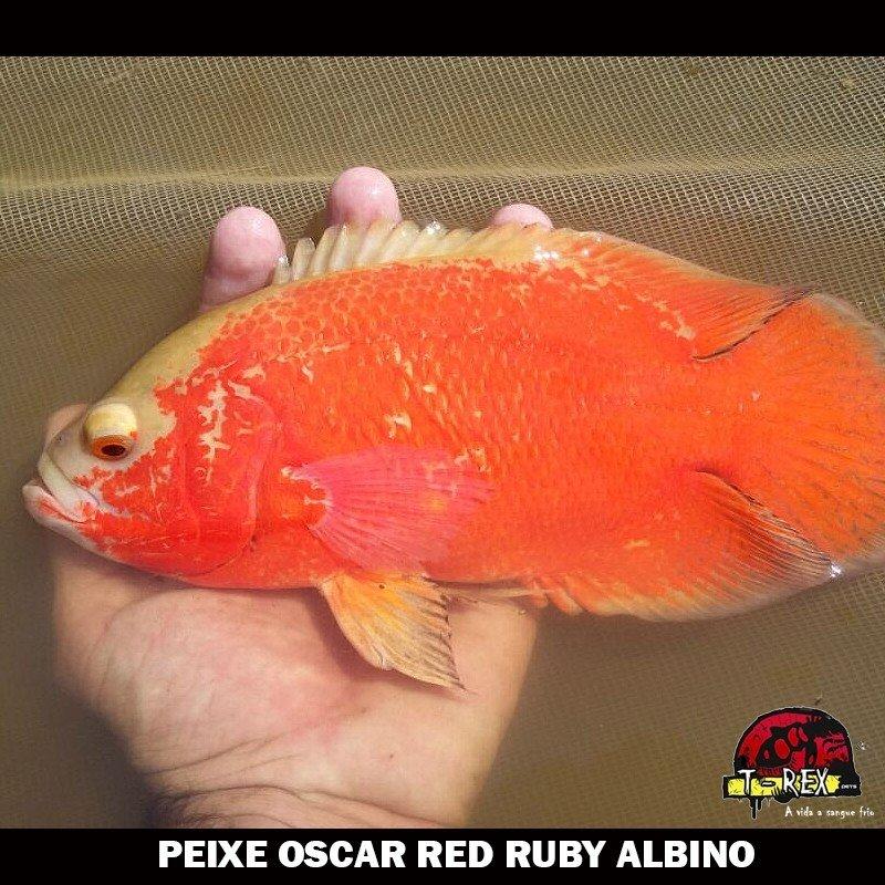 Comprar Oscar Red Ruby Albino