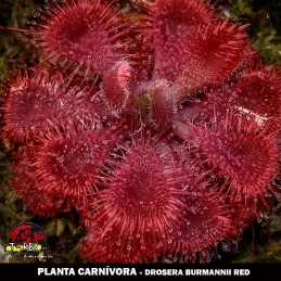 Muda Drosera burmanni red