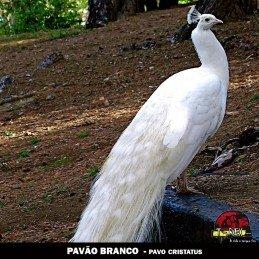venda filhote pavao maringa curitiba