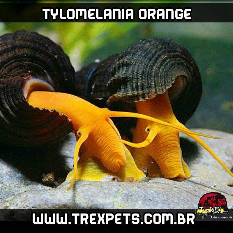 Caramujo de aquario Tylomelania
