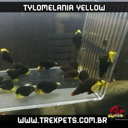 Caramujo Tylomelania amarelo