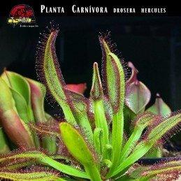 mudinha de planta carnivora hercules