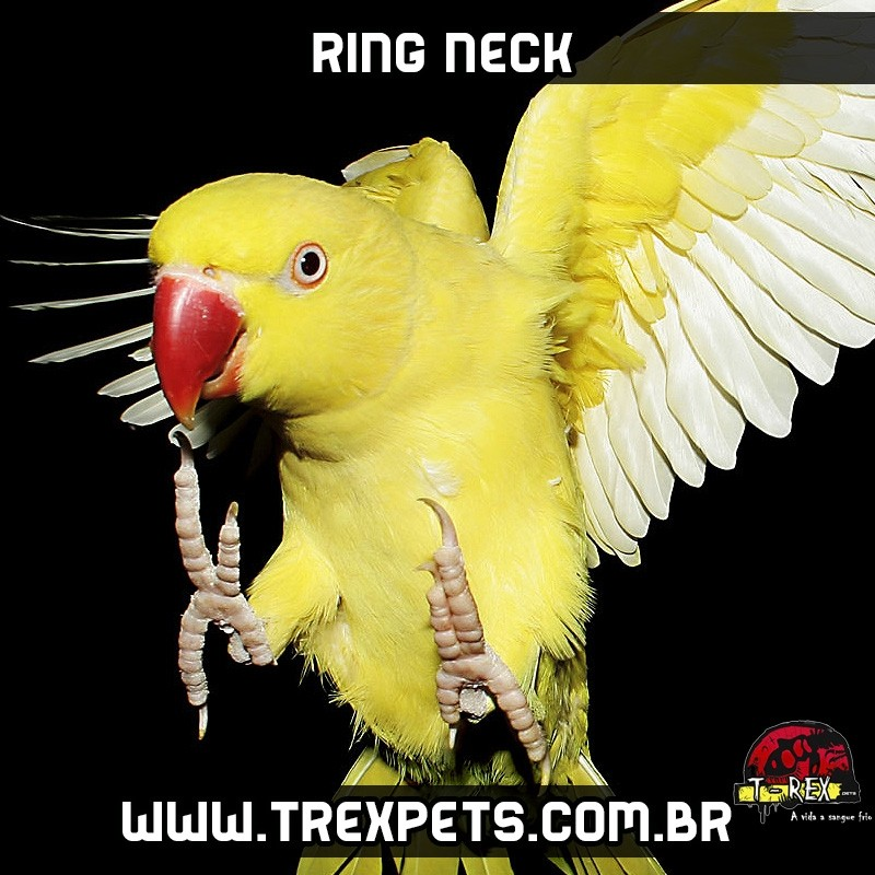 Viveiro RED RUMPED -CALOPSITA - RING NECK
