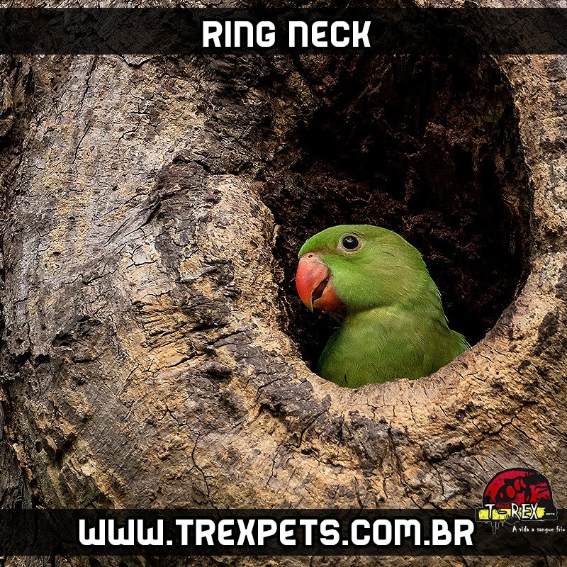 VIVEIRO - PAPAGAIO - LORO - RING NECK
