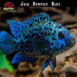 Ciclídeo Africano Jack Dempsey Blue