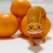 Lindíssimos! ❤️ Foto por: @senna_friends www.trexpets.com.br A loja dos répteis 🦎#trexpets #pogona #pogonas #snake #snakes #iguana #iguanas #leopardgecko #leopardgeckos #repteis #répteis #cornsnake #animaisexoticos #terrarios #terrario #kingsnake #crestedgecko #tartarugas #jabuti #tartaruga #tartarugas #turtle #tarantulas #dendrobates #cornsnake #teiú #dragaobarbado #animaisexoticos #lojarepteis #serpentes #reptile #reptiles #trexpets2